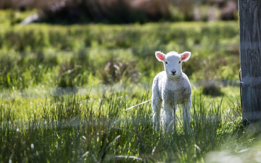 A Middle Eastern Sheep in America